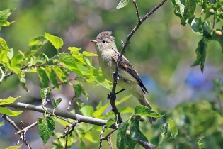 Northern Beardless Tyrannulet 2