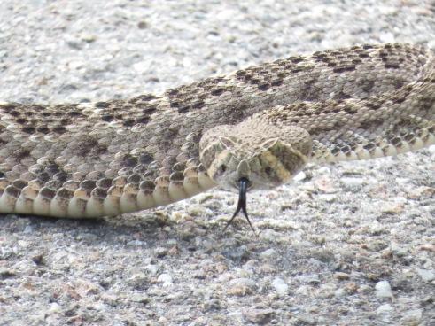 Rattlesnake Head (2)