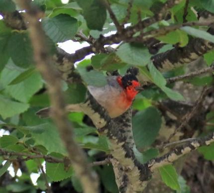 Red Faced Warbler3