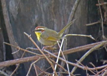 rufous-capped-warbler.jpg