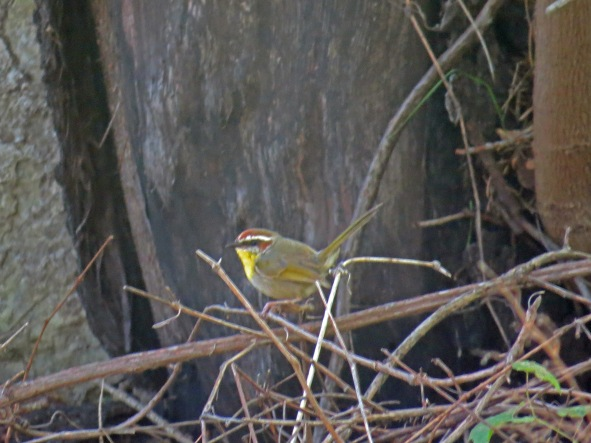 Rufous Capped Warbler