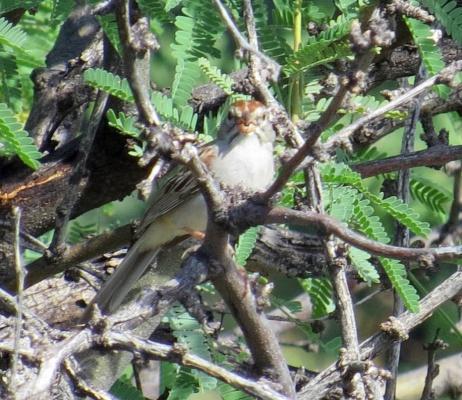 Rufous Sparrow