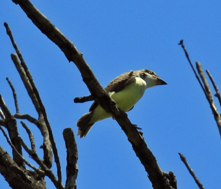 Thick Billed Kingbird Juvenile