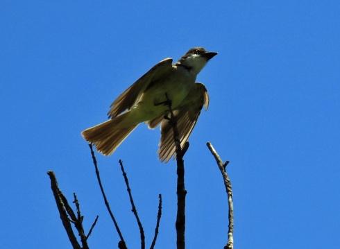 Thick Billed Kingbird1
