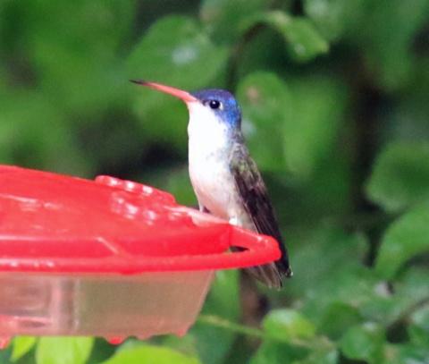 Violet Crowned Hummingbird 2