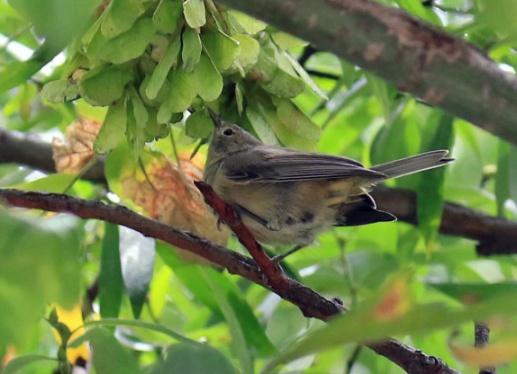 Virginia's Warbler4