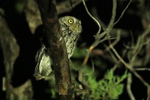 Whiskered Screech Owl (2)