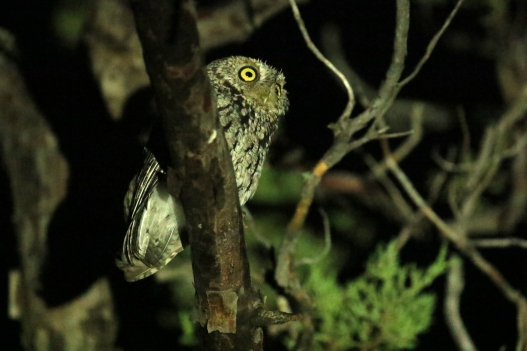 Whiskered Screech Owl (2)