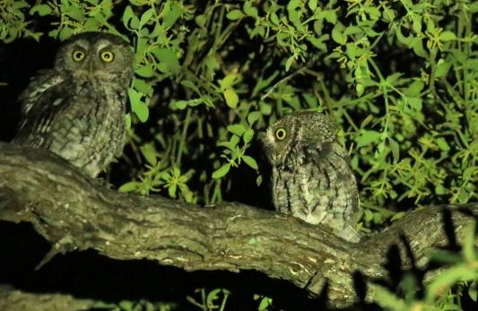 Whiskered Screech Owls 1 (2)