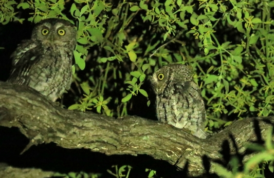 Whiskered Screech Owls 1 (2)
