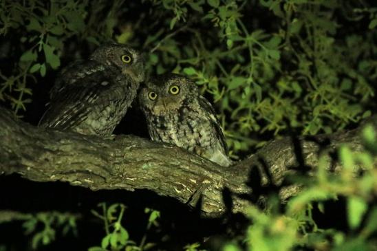 Whiskered Screech Owls (3)