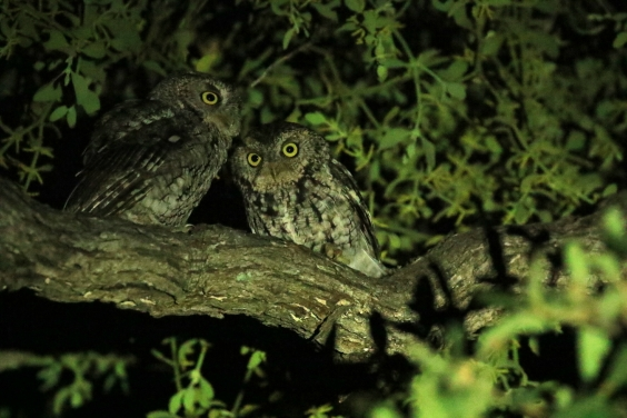 Whiskered Screech Owls (3)