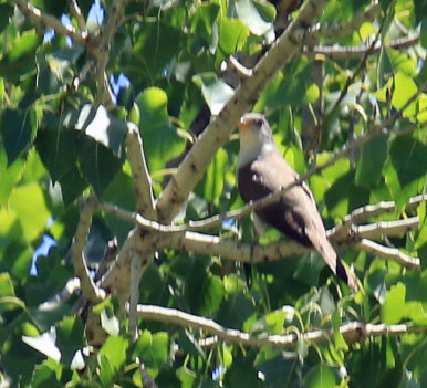 Yellow Billed Cuckoo2
