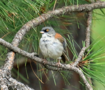 Yellow Eyed Junco4