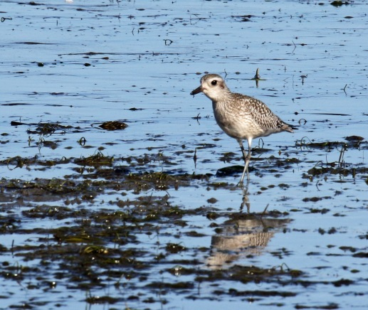 Black Bellied Plover1