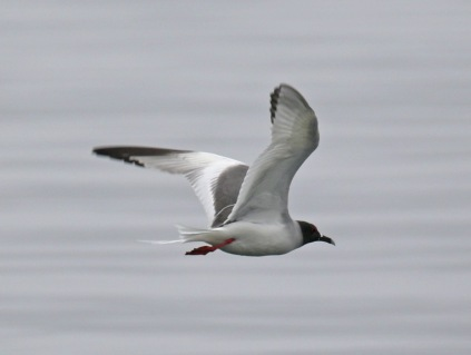 Swallow Tailed Gull Flight1