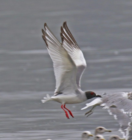 Swallow Tailed Gull Wings