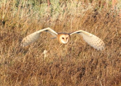 Barn Owl 6