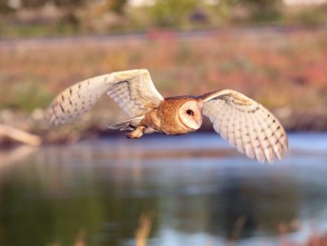Barn Owl7