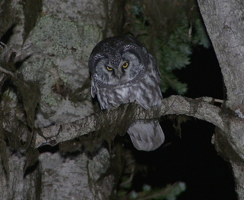 Boreal Owl1