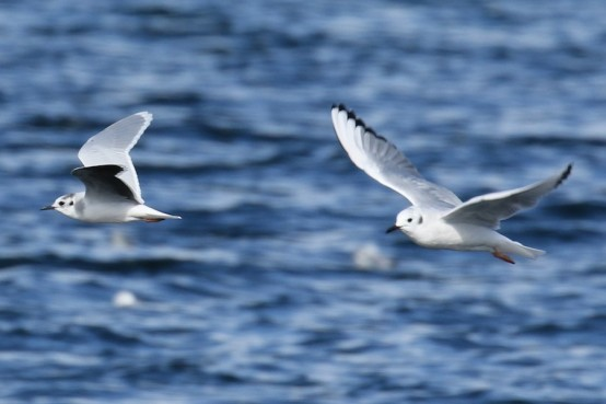 Brad's Little Gull with Bonaparte