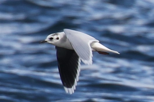Brad's Little Gull