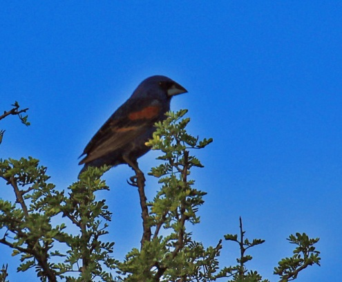 Blue Grosbeak1