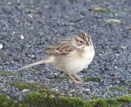 Clay Colored Sparrow1