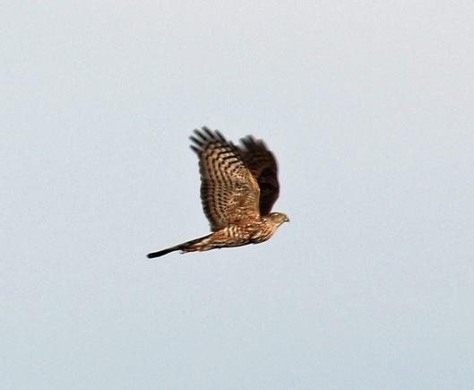 Cooper's Hawk Flight1