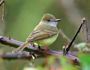 Dusky Capped Flycatcher