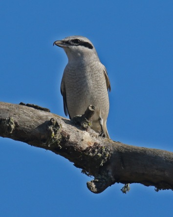 Northern Shrike3