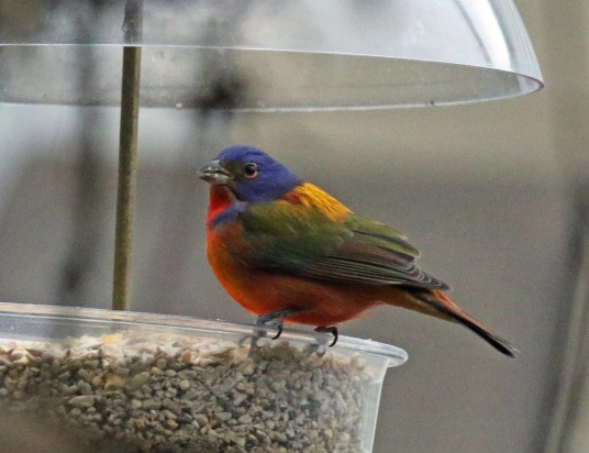 Painted Bunting1