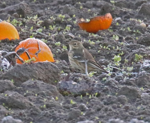 Pipit and Squah