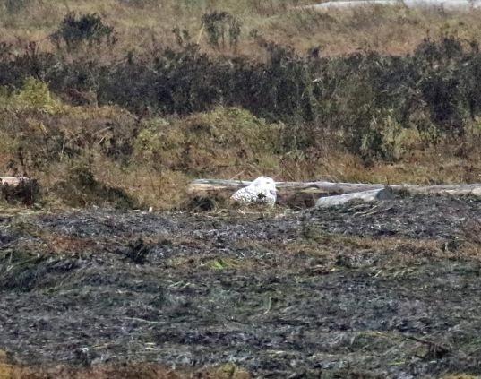 Snowy Owl Boundary Bay