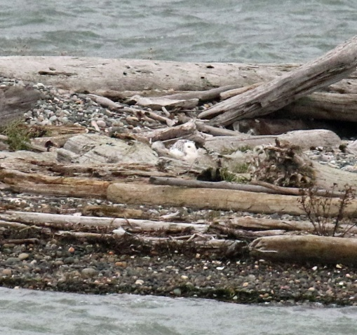 Snowy Owl Sandy Point