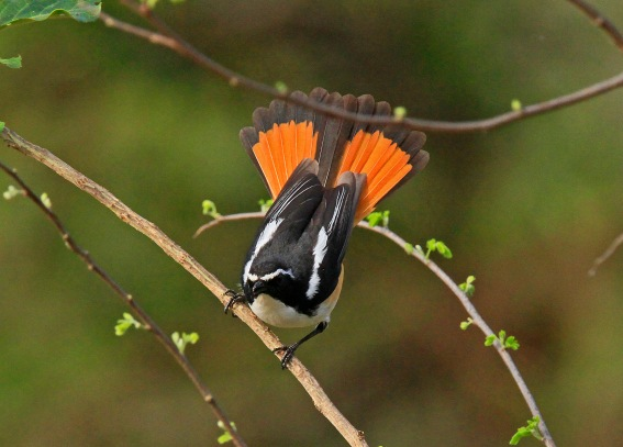 White Throated Robin Chat Display