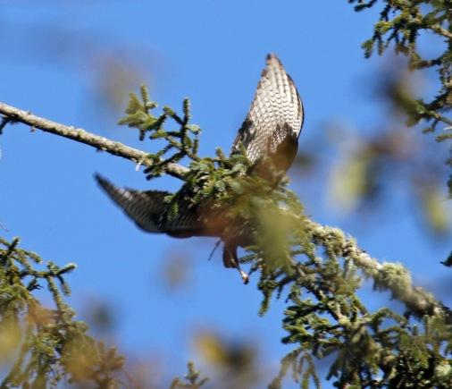 Zone Tailed Hawk Flight