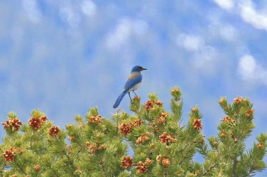 52-Western Scrubjay Woodhouse Form