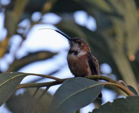 Allen's Hummingbird Tongue1