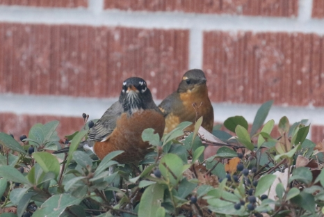 American Robin and Varied Thrush