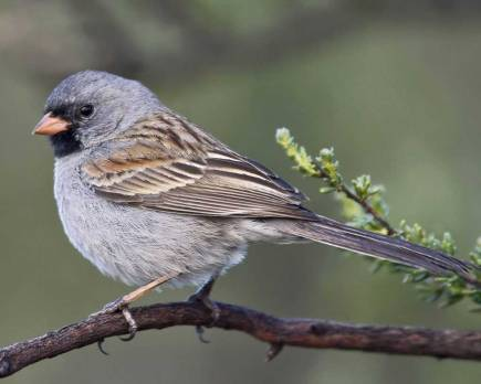 Black-chinned_Sparrow