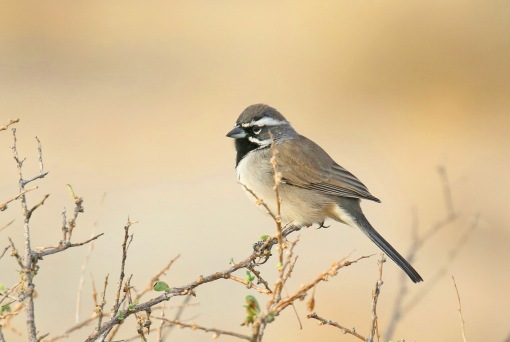 Black Throated Sparrow 2