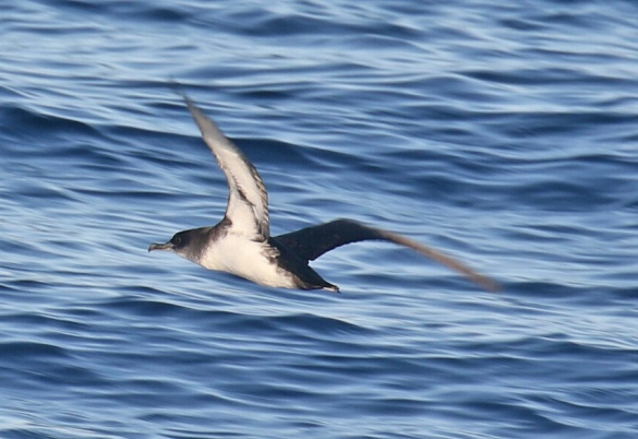 Black Vented Shearwater
