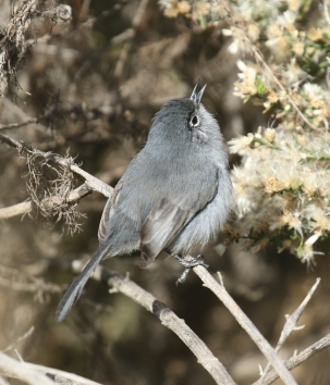 California Gnatcatcher 3