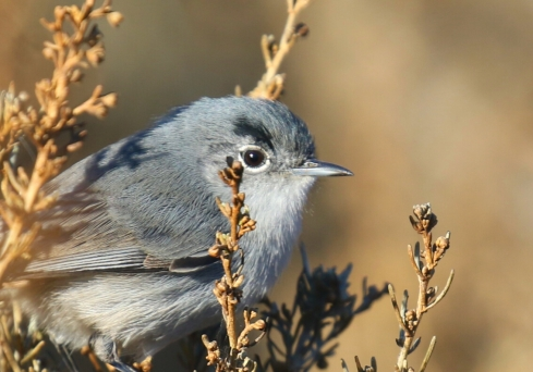 California Gnatcatcher close