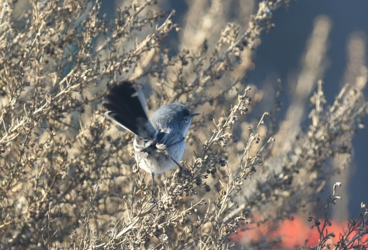 California Gnatcatcher Tail