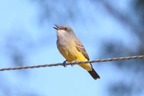 Cassin's Kingbird 1