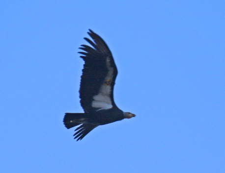 Condor Tag2
