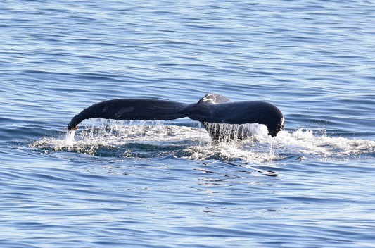Humpback's Tail