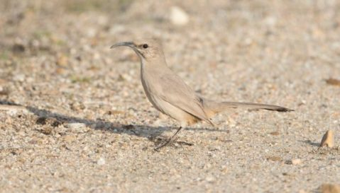 LeConte's Thrasher